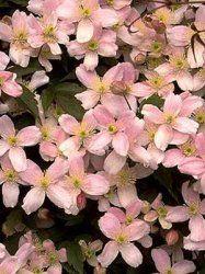 Clematis Montana Elizabeth: Garden General, Garden Ideas, Domain, Hallway Garden, Montana, The