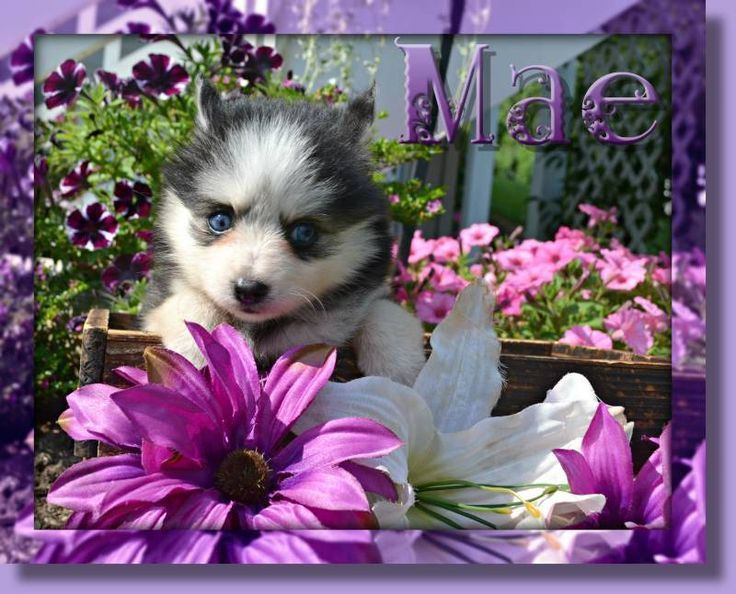 Mae Female Pomsky F3 650 Http Www Thatdoggyinthewindow Com Pomsky Puppies Pomsky Puppies For Sale