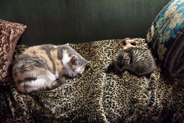 Cats masquerading on fur by digiteyes, via Flickr