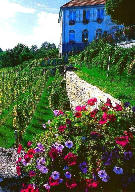 Les vignes -  Saint-Dizier-l'Evêque . Territoire de Belfort