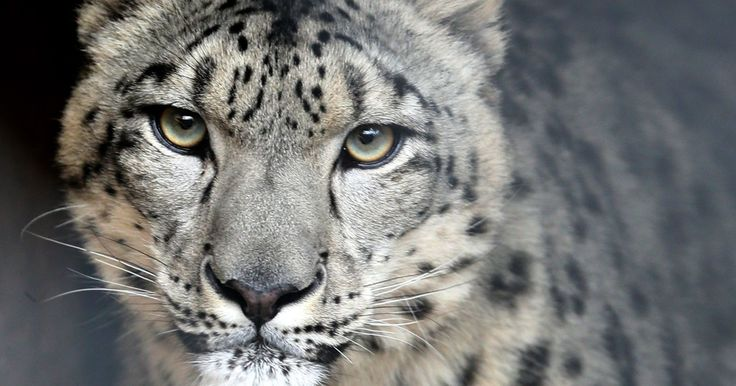 Milwaukee County Zoo's new snow leopard