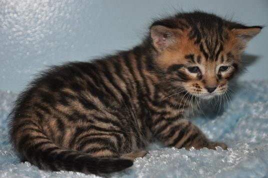 If I were ever to a get a cat- it would be a Toyger! Kittens bred to look like tigers!