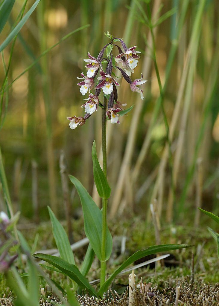 Marsh Helleborine Epipactis palustris | Flickr - Photo Sharing!