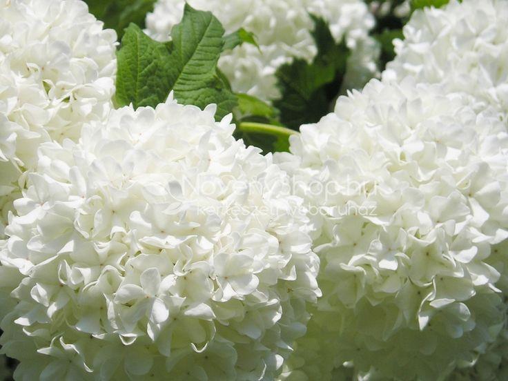 Viburnum opulus Roseum, Rózsaszín virágú labdarózsa 3-4 méter magasra növő nagyobb bokor. Hófehér gömb alakú meddő virágai júniusban elborítják a bokrot, a virágok elnyílva rózsaszínes árnyaltúak lesznek. Őszi lombszíne tűzvörös. Üde, humuszos talajt igénylő szoliter.
