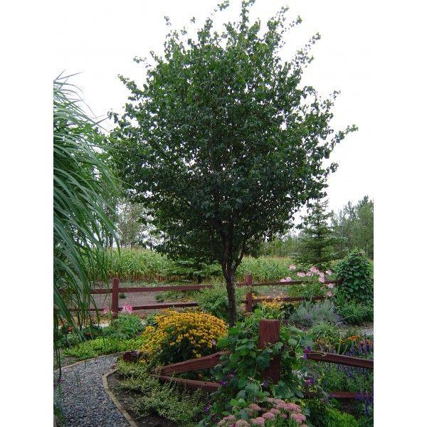 Cold Stream Farm - Washington Hawthorn (Crataegus phaenopyrum)