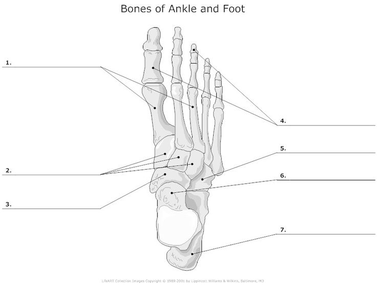 flower diagram to label bones of ankle and foot unlabeled | i heart anatomy ...