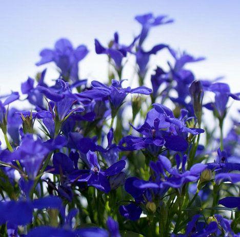Lobelky: rostou opravdu všude  Poslední z rostlin vhodných do stínu severních a východních stran a zároveň první z těch, které snesou horko jihu a západu, jsou lobelky. Dají se pěstovat opravdu všude a koupit je můžete ve dvou variantách: jako drobnou, nebo do truhlíků jako převislou. Kromě tradiční modré barvy si můžete vybrat i bílou či růžovou. Je třeba ji nejen pravidelně zalévat, ale být opatrní i při hnojení a používat přípravky bez dusíku, ten jim nesvědčí.
