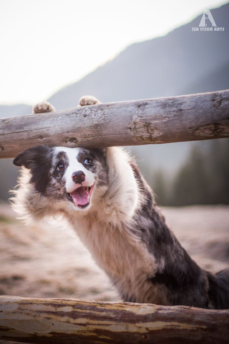 zoe the border collie saying hello | animals + pet photography #dogs