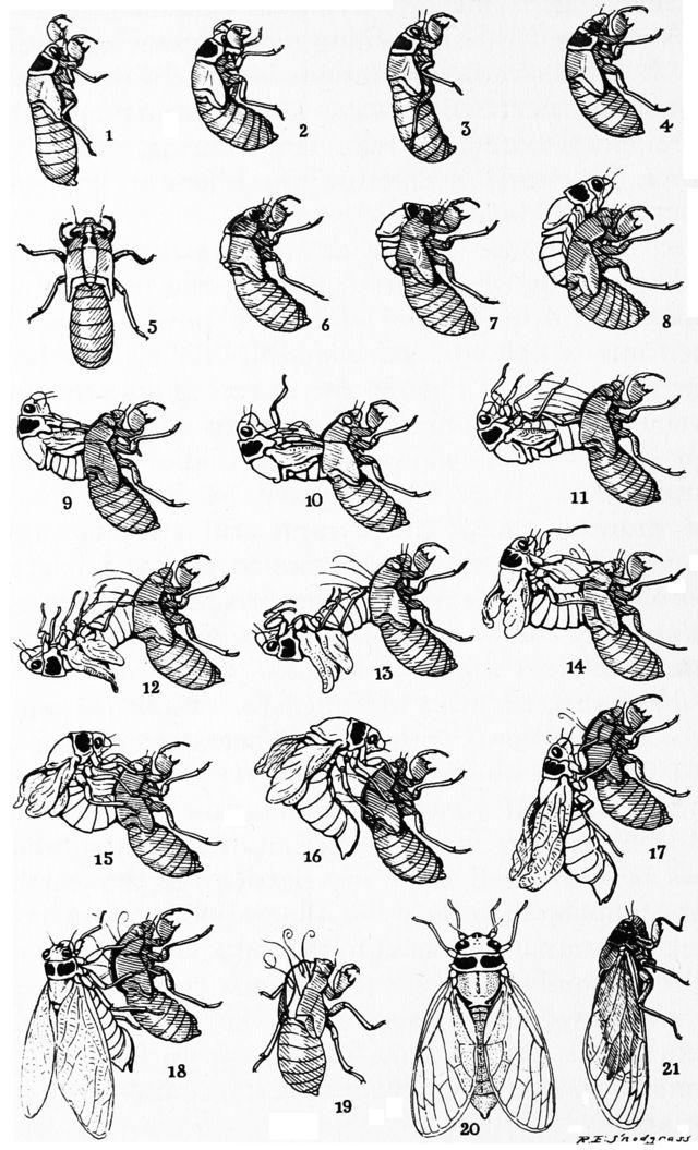 Snodgrass periodical cicada transformation - Periodical cicadas - Wikipedia, the free encyclopedia