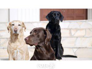 Animale de companie, Vanzari, cumparari, Vand catei Labrador Retriever, imaginea 1 din 1