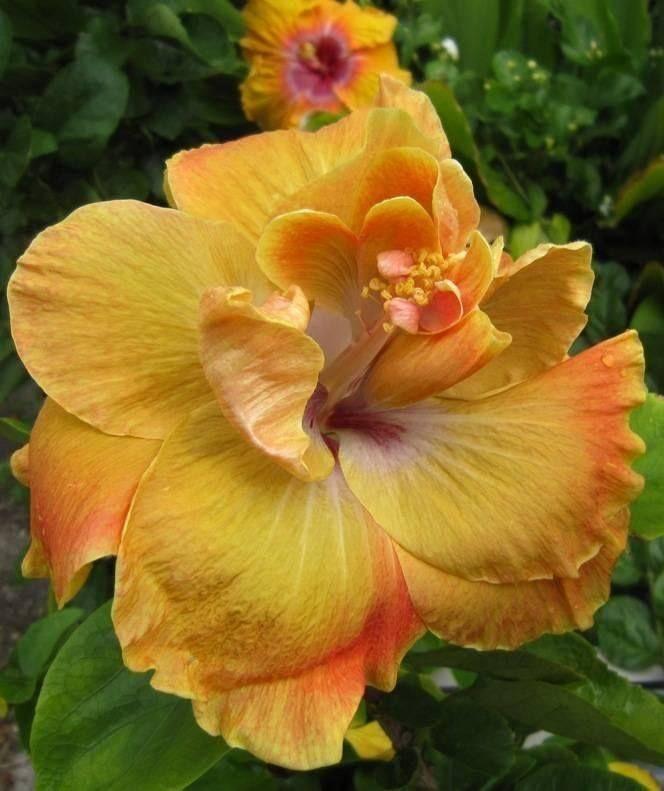 Cajun Hibiscus 'Chartreuse Rose'