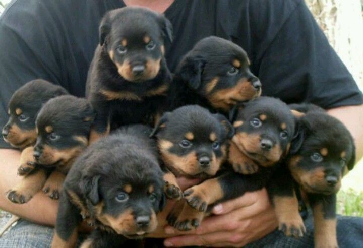 Awww 3 Rottweiler Puppies Rottweiler Dog Dog Breeds