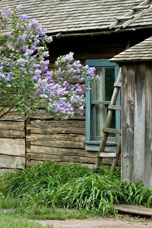 gorgeous fragrant Lilacs.... can't wait...