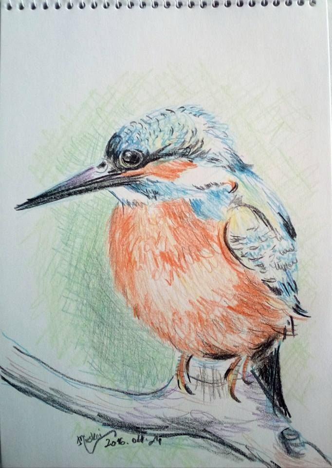 Jégmadár-II-madár7- -színes ceruza rajz- -24x17 cm