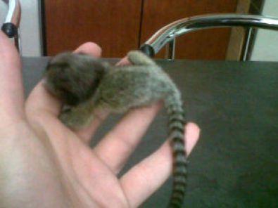 Pygmy Marmoset Monkeys for Sale | Marmoset Monkeys For Sale