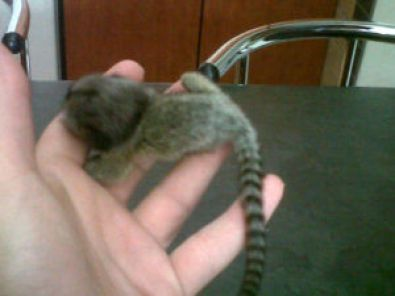 Pygmy Marmoset Monkeys for Sale | Marmoset Monkeys For Sale