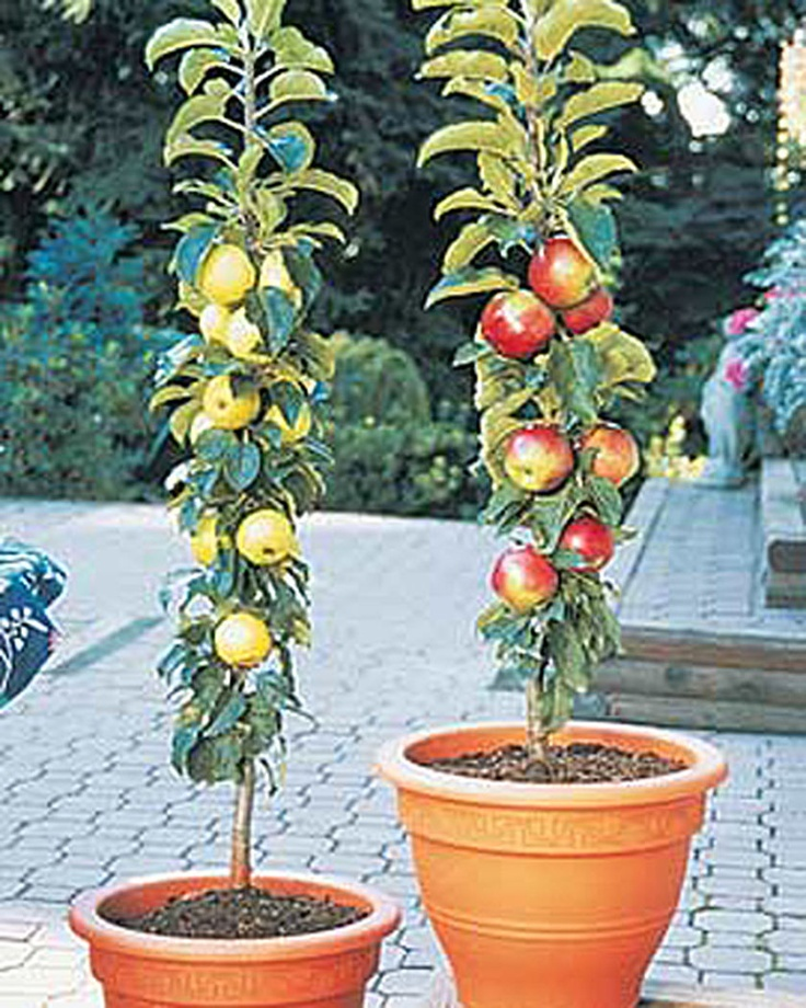 Columnar Apple Trees | Gardener's Supply. Perfect for growing fruit on your balcony! These apples don't have horizontal branches, they grow fruit in clusters along their trunks. 'North Pole' has McIntosh-type apples, while 'Golden Sentinel' has yellow apples. The trees stay under 4 feet tall. Plant at least two trees as they need to cross pollinate. Produces full-sized fruit .