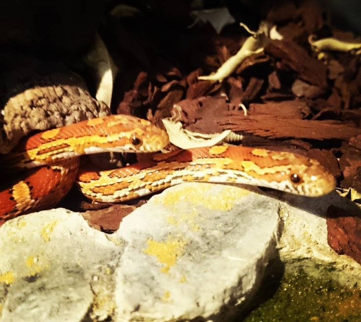 Excuse us. Do we smell mice?  #hungrysnakes #feedingcornsnakes #cornsnakes #snakes #terrariums #terrarium #feedus #babysnakes #snakebabies #gettingbigger #growingsnakes #schlangenfüttern #schlangen #schlangenbabies #schlangibabies #Kornnattern #Kornnatter #Kornnatterbabies #hungrigenattern #fütteruns #Mäusefürdieschlangen #leckermäuse #annaandelsa #anna #Elsa #allmypets #snakesofinstagram #cornsnakesofinstagram http://misstagram.com/ipost/1556000383309801725/?code=BWYBhrFjWj9