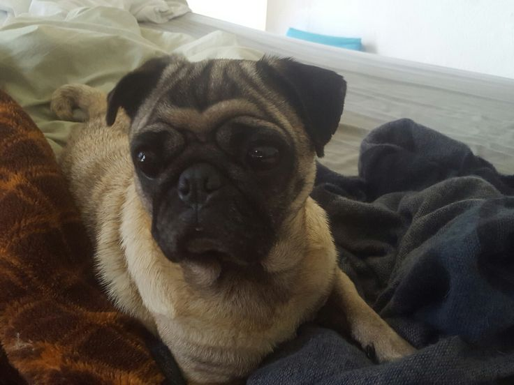 Our beauty Dana a rescued Pug of 5 years old. Her breeder had it encarcelate for 5 years, only to have her puppies. Now she is happy and free!! Nuestra hermosa Dana. Pug the 5 años. Rescatada de un breeder que la mantuvo encerrada en jaula 5 años y la explotó para sacarle crias. Ahora ella es feliz y libre!