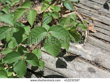 Poison ivy (Toxicodendron radicans) growing onto a path.