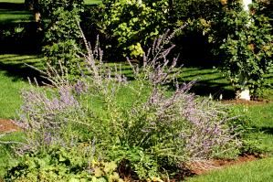 Russian sage (image) supplies diffuse color in a planting bed. It's a shrubby perennial. - David Beaulieu