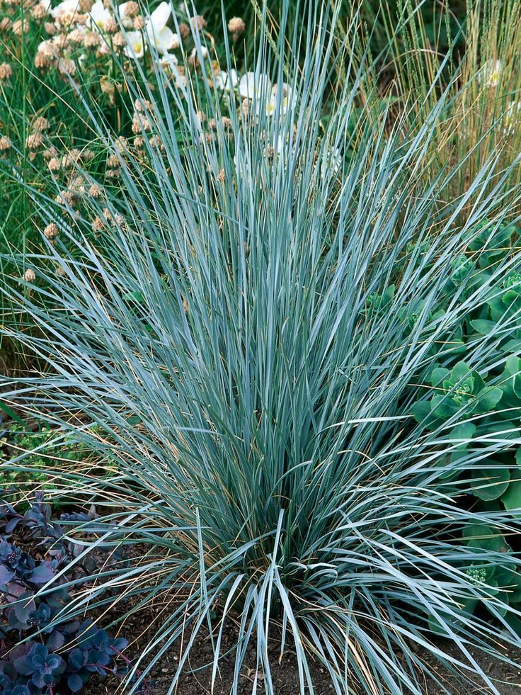 15 best images about grasses on pinterest gardens for Tall grasses for sun