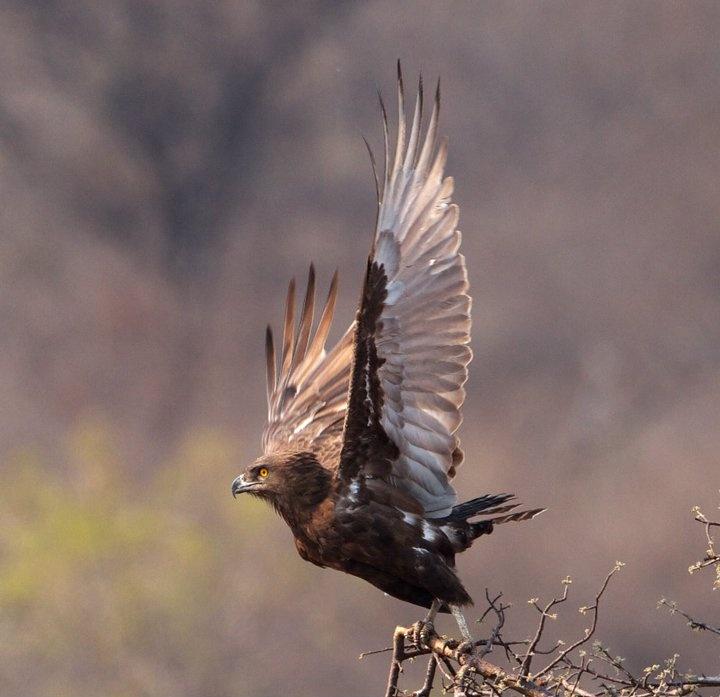 Beaudouins snake eagle - photo#20