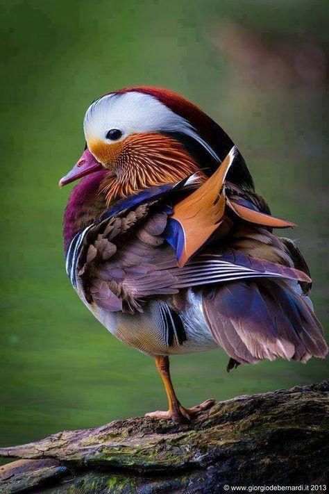 Mandarin Duck by giorgio debernardi