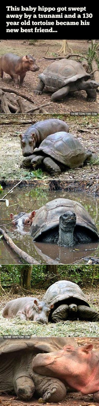 Baby hippo and tortoise become best friends