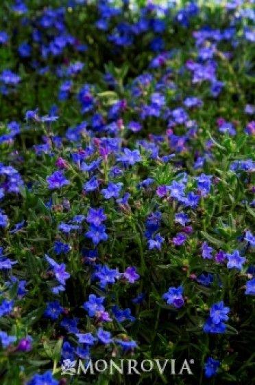 Grace Ward Lithodora ground covering flower