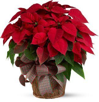 Poinsettia Es una de las plantas más vendidas y más regalads durante las fiestas navideñas porque dicen que trae muy buena suerte. De no ser así, alegra cualquier espacio con sus flores rojas y de centro amarillo. La carrera mundial de la poinsettia o estrella de Navidad se inició en Hollywood. A principios del siglo XX, se empezó a cultivar esta planta silvestre mexicana en los extensos campos de California. Esta planta de invierno roja era muy popular y se vendía como flor cortada en…