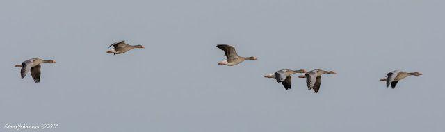 Natuurfoto Oost-Groningen: Grauwe gans in vlucht