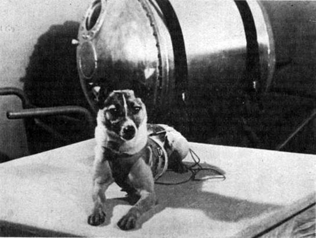 El paso siguiente era llevar a un ser vivo fuera de la atmósfera terrestre. De nuevo, los soviéticos tomaron la delantera y, a bordo del Sputnik 2, enviaron a la perrita Laika al firmamento. Eso sí, la posibilidad de retorno a la Tierra no estaba contemplada. En 2002, fuentes rusas confirmaron que el animal murió pocas horas después del despegue debido al sobrecalentamiento y al estrés que implicó la salida de la Tierra. Esta misión fue especialmente relevante, ya que le ofreció a los…