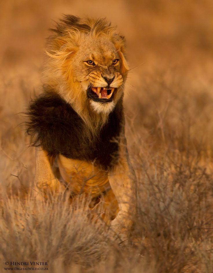 Les 6666 meilleures images du tableau the animal kingdom sur pinterest animaux sauvages - Images de lions a imprimer ...
