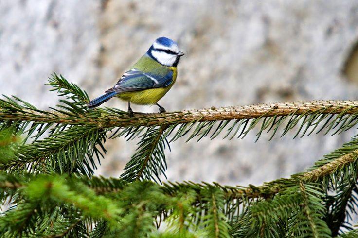 NAŠE LÁSKY: Příroda a ptáci. Život v přírodě. Sýkorka modřinka...