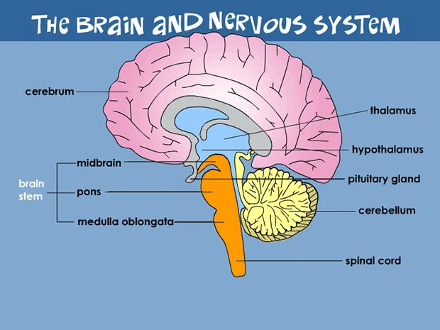 an overview of the different parts of the human brain Overview of anatomy and physiology  and organization of different parts of the body that is  human anatomy deals with how all parts of the human body interact.