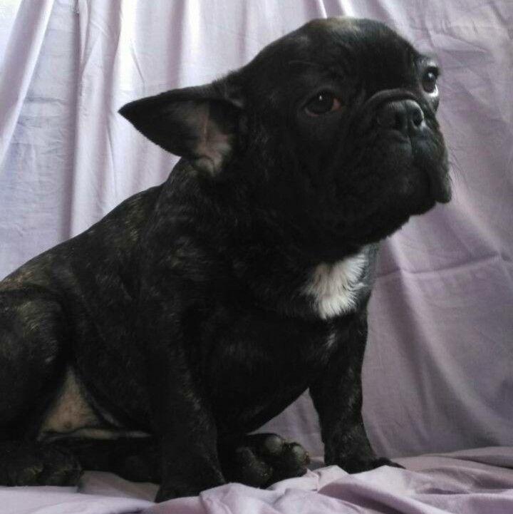 French Bulldog Puppy For Sale In Boston Ma Adn 62764 On