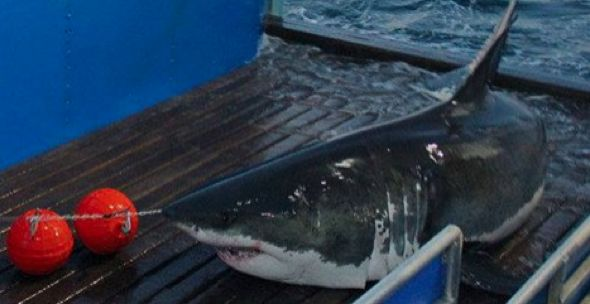 Huge 16ft great white shark spotted off coast of New York