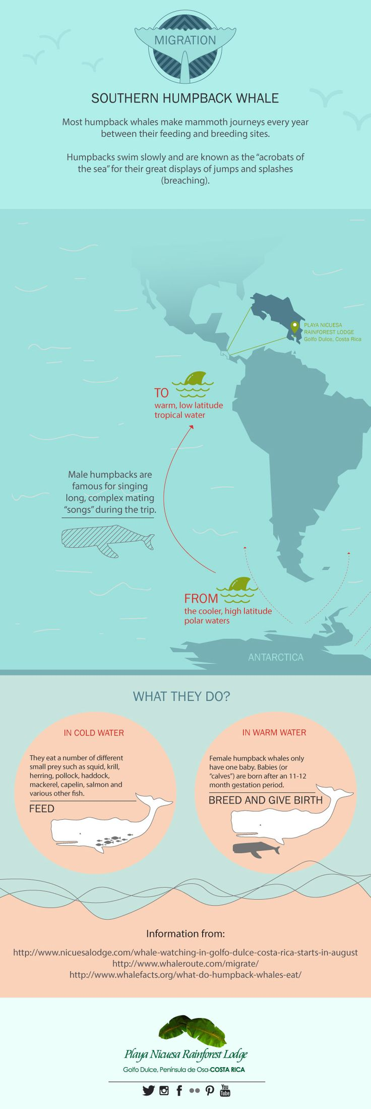 Migration, Humpback Whale facts in our new #Infographic .   #WhaleWatching #CostaRica #BeGreen #HumpbackWhales