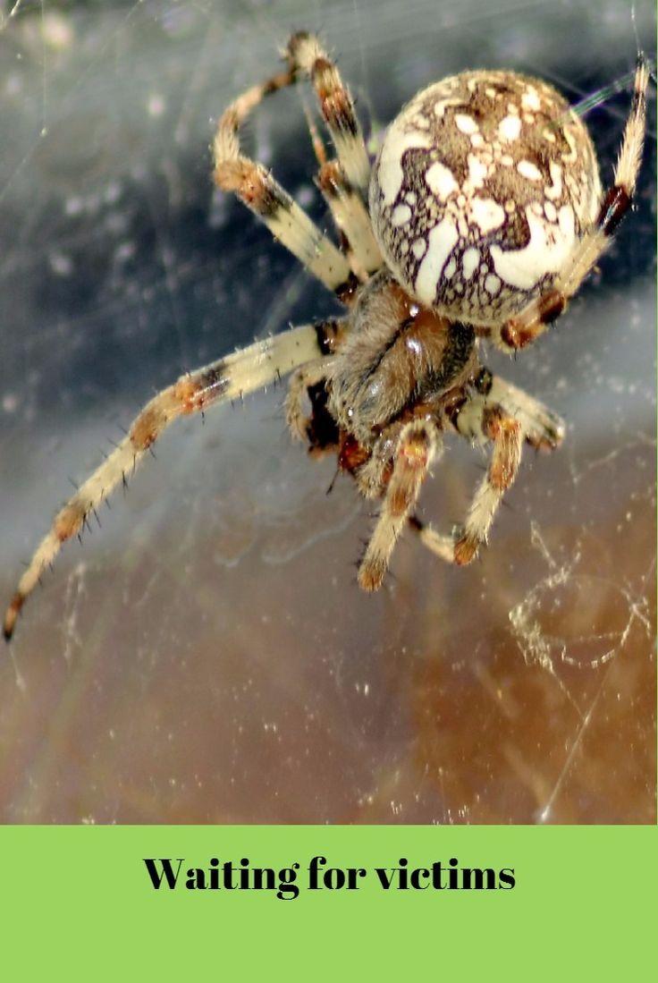 European garden spider (Araneus diadematus) waiting for victims