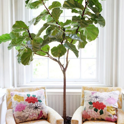 Ficus Pandurata - beautiful indoor tree | Perfect placement nestled between two chairs in front of a window.
