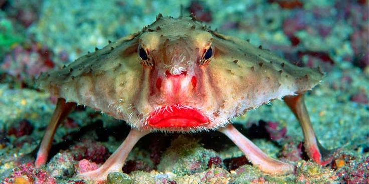 red lipped batfish This is really weird fish. Besides that it has red lipstick on its lips it also walks but not swims! A characteristic feature of the fish is bright red lips. Red-lipped Batfish is not good at swimming so it uses its pectoral fins for walking on the ocean floor. When the fish reach sexual maturity, it becomes a single dorsal fin.  Red-lipped batfish lives off the coast of the Galapagos Islands at a depth of 30 meters or more. So it will be quite difficult to catch to your…