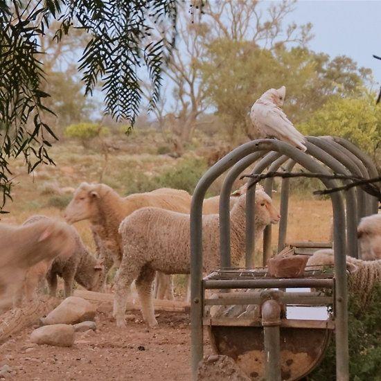 Sheep of His Pasture