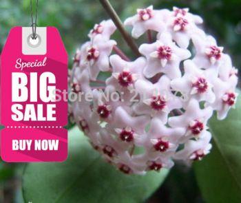 hoya seeds, potted seed, hoya carnosa flower seed Garden plants, perennial planting - 100 seeds