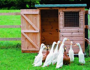 Strong, well-ventilated duck housing should also have a large door, as ducks will all try to exit at once!