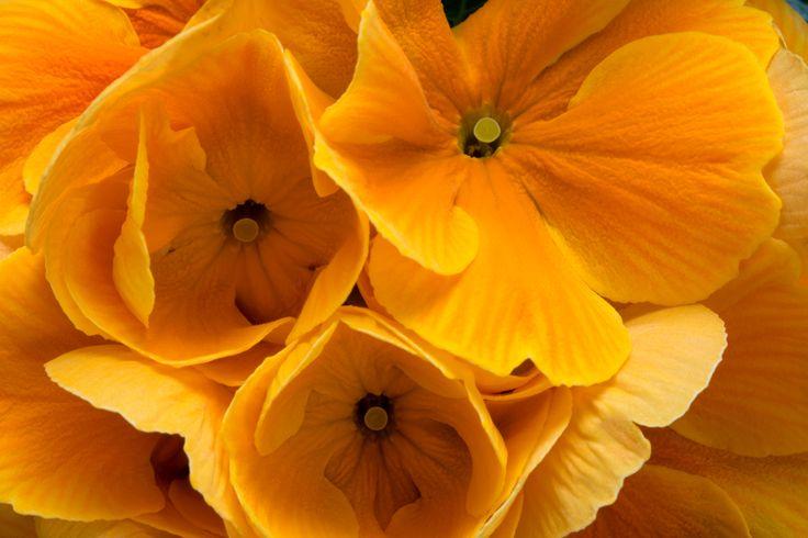 Primula Paradiso close-up
