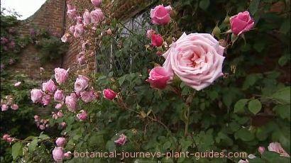 Perennial Flowering Vines, Climbing Flower Vines for the Garden