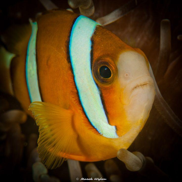 Orangefin Anemonefish | Lembeh Strait | 2011.10.10  Title: Orangefin Anemonefish Location: Lembeh Strait Camera: NIKON D300 Lens: AF-S VR Micro-Nikkor 105mm f/2.8G IF-ED Settings: 1/200 f/16 ISO200 Housing: Subal ND300 Strobes: 2 x Subtronic Pro270  http://marek.wylon.com
