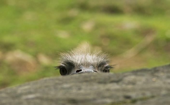 ostrich-571457_1280