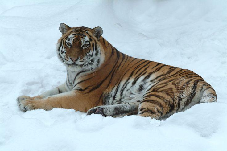 The Amazing Siberian Tiger - Tibba